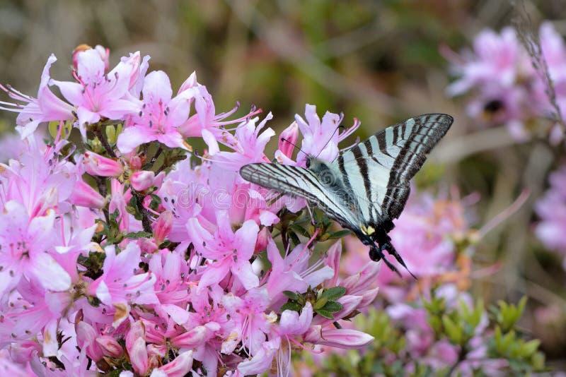 azalea stock afbeelding