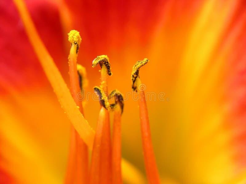 Azalea amarilla roja de la flor fotografía de archivo libre de regalías