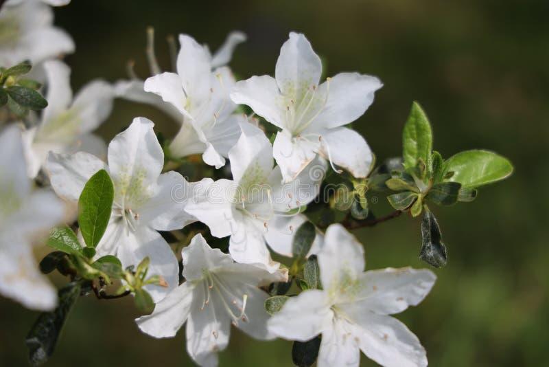 Azalea bianca fotografia stock