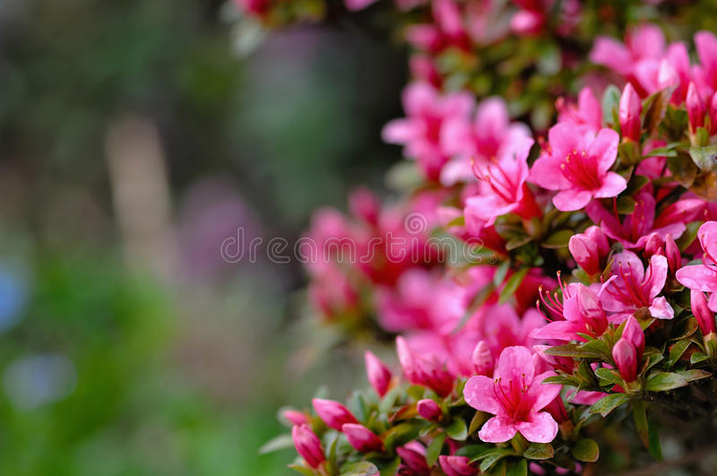 Azalea blooming pink and purple spring flowers. Gardening stock photography