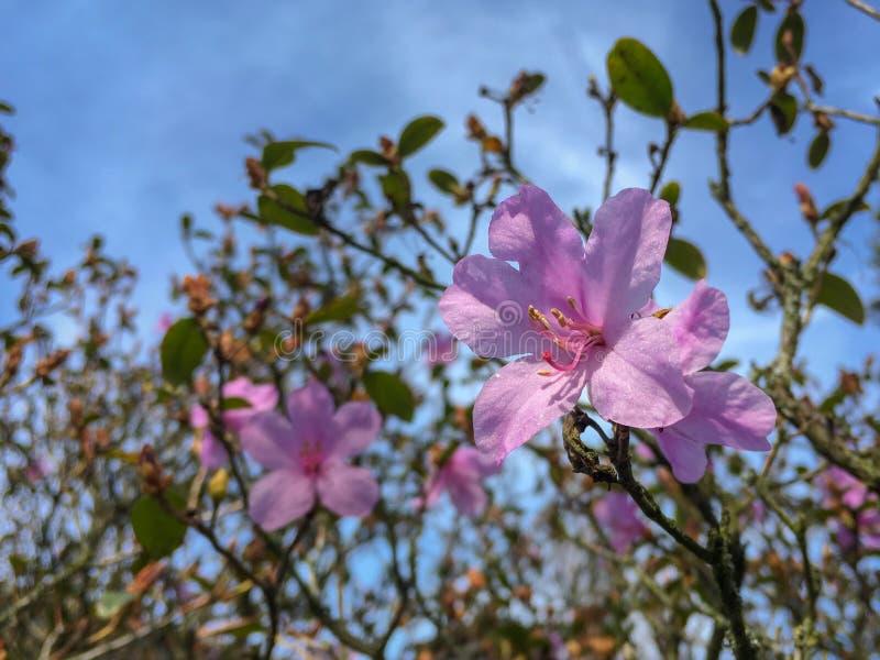 Azalea blossom in spring stock photos