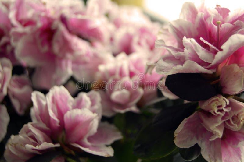 The azalea blossoms stock photography
