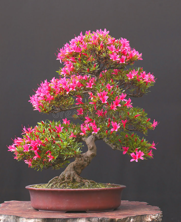 Azalea bonsai stock photo image of bonsai pink tree for Azalea bonsai