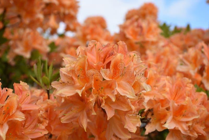 Azalea Bush Flowering anaranjada impresionante en un día de primavera fotografía de archivo