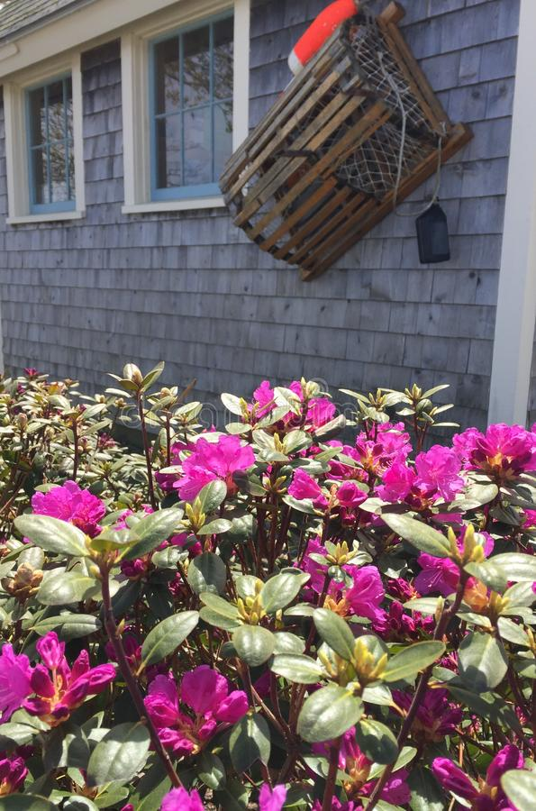 Azalea bushes in front of gray clapboard building with lobster trap and buoy royalty free stock photo