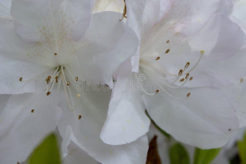 Azalea Closeup branca com sardas e matiz cor-de-rosa imagem de stock
