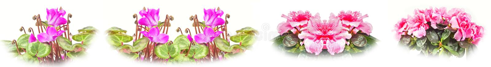 Azalea and Cyclomen. Collage royalty free stock photos
