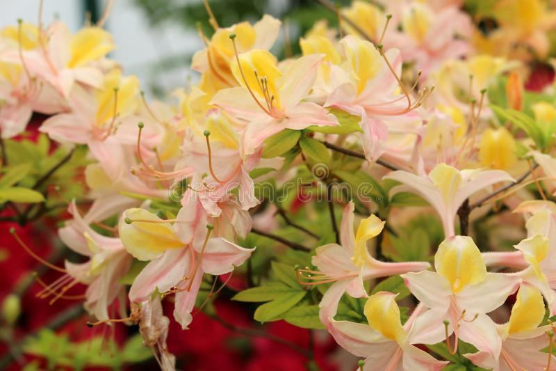 Azalea `Daviesii `. Closeup of a blooming bush of the Pink Yellow Rhododendron stock image