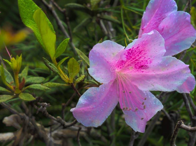 Azalea de la Florida del rosa de HDR fotografía de archivo
