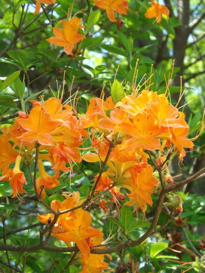 Azalea della fiamma - calendulaceum del rododendro immagine stock libera da diritti
