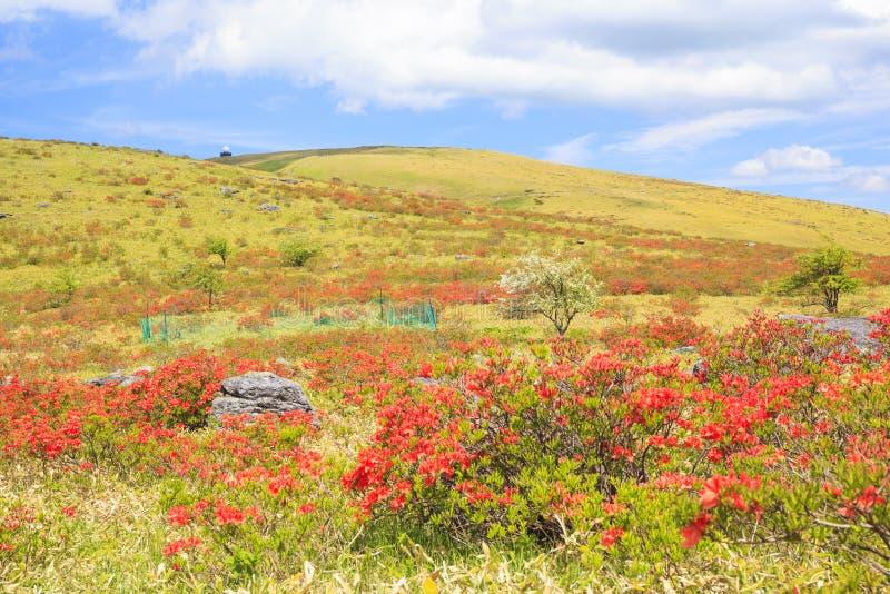 Azalea die in Plateau bloeien royalty-vrije stock foto