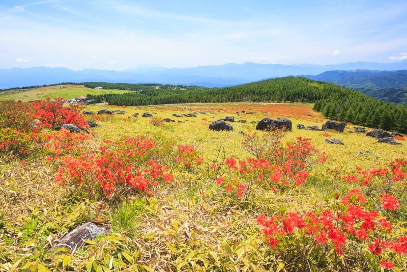 Azalea die in Plateau bloeien royalty-vrije stock afbeelding