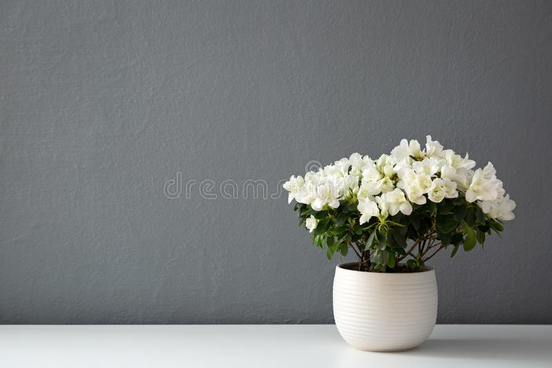 Azalea dwarf white plant in white pot stock photography