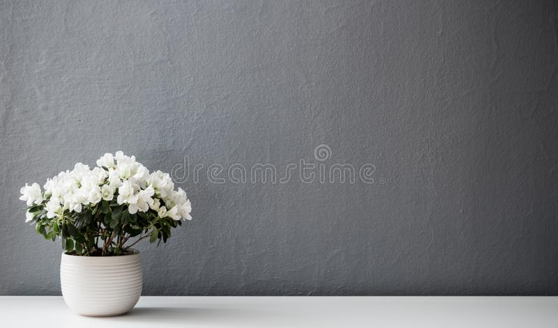 Azalea dwarf white plant in white pot royalty free stock photography