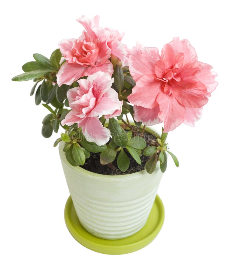 Azalea floreciente aislada en un blanco imágenes de archivo libres de regalías