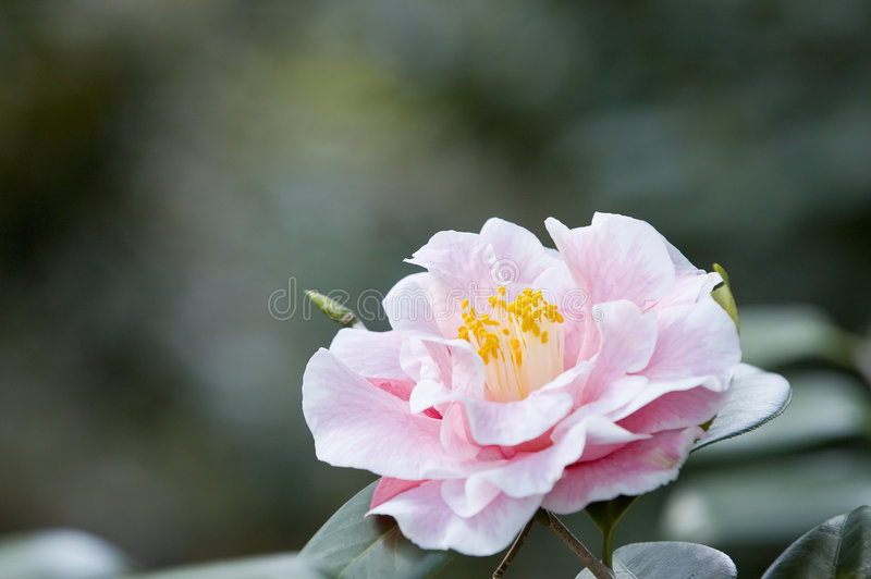 Download Azalea flower stock photo. Image of azalea, stamen, flower - 660584