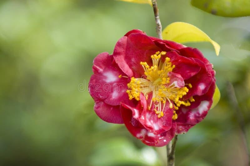 Azalea flower royalty free stock photos