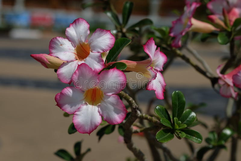 Azalea flower or desert rose royalty free stock image