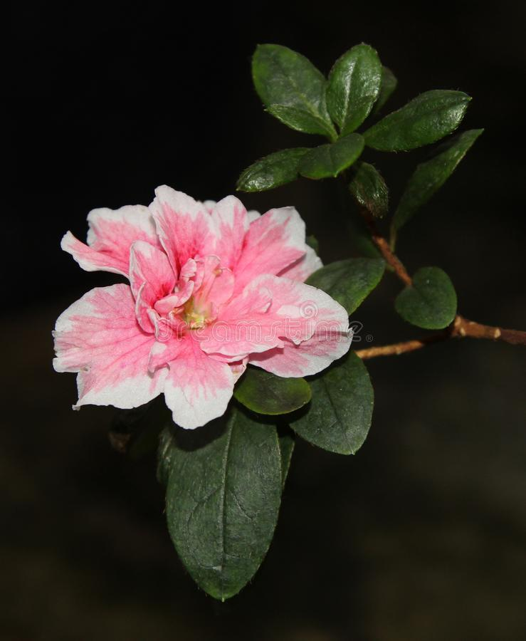 An azalea flower with pink petals with white edges stock photo download an azalea flower with pink petals with white edges stock photo image of white mightylinksfo