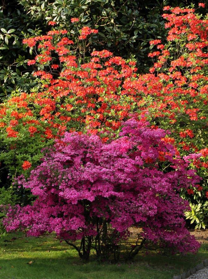 Azalea flowering shrubs. Azalea shrubs with orange and violet flowers in the flowering time on the ornamental garden royalty free stock photography