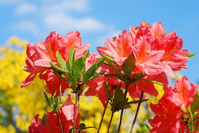 Azalea flowers. Colorful azalea flowers against blue sky background royalty free stock image