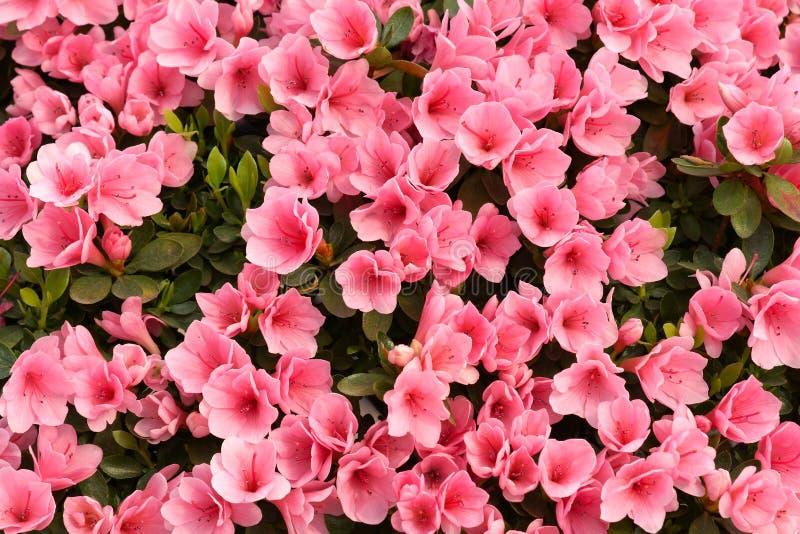 Azalea flowers. The background of pink azalea flowers