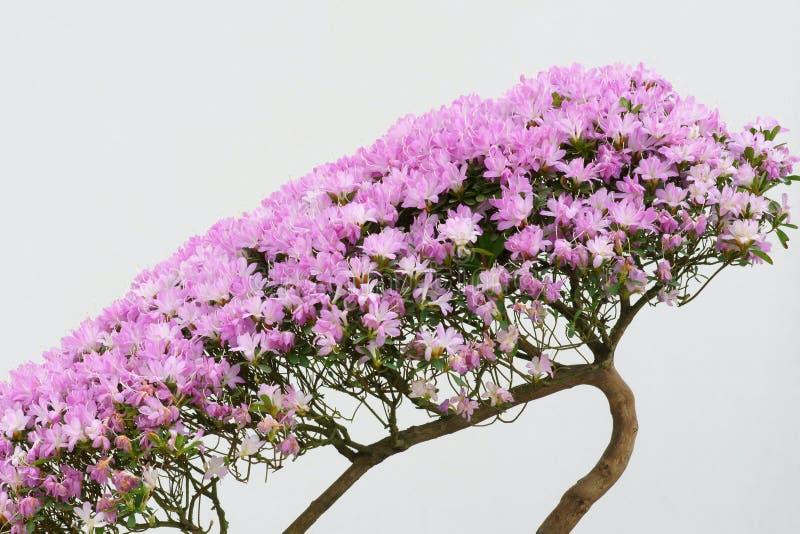 Azalea flowers royalty free stock images