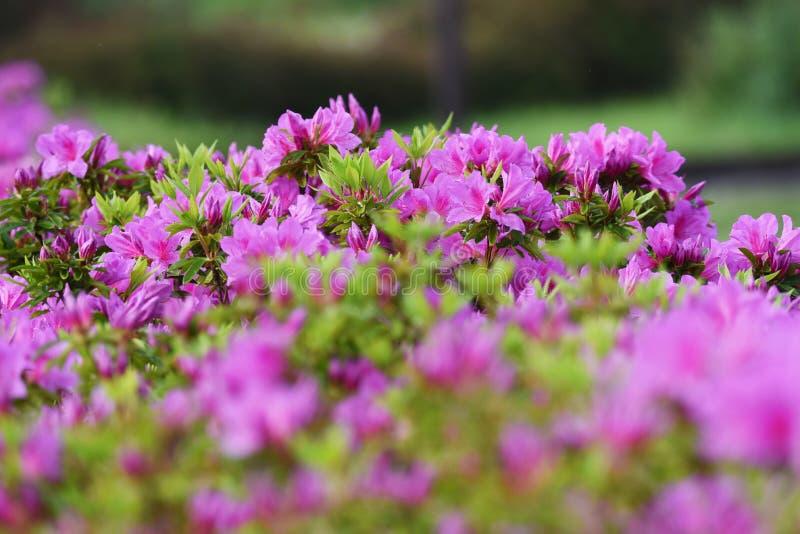 Azalea flowers. In full bloom royalty free stock photos