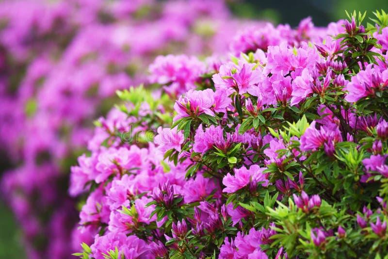 Azalea flowers. In full bloom royalty free stock photo