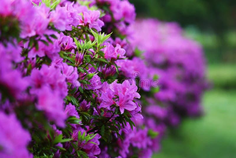 Azalea flowers. In full bloom stock photos