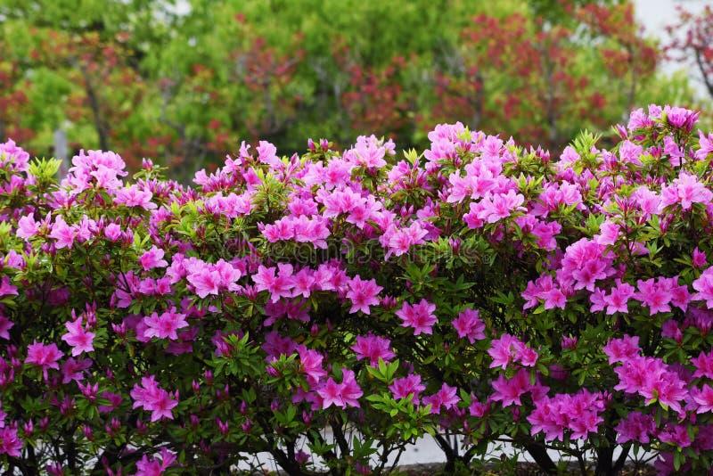 Azalea flowers. In full bloom royalty free stock image