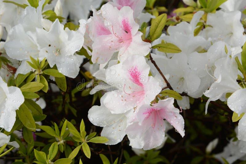 Azalea flowers. In full bloom stock images
