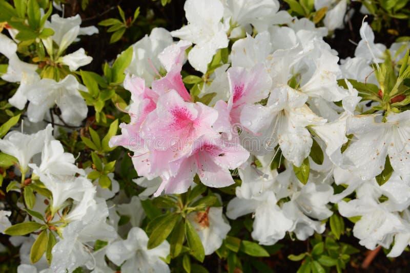 Azalea flowers. In full bloom royalty free stock photography