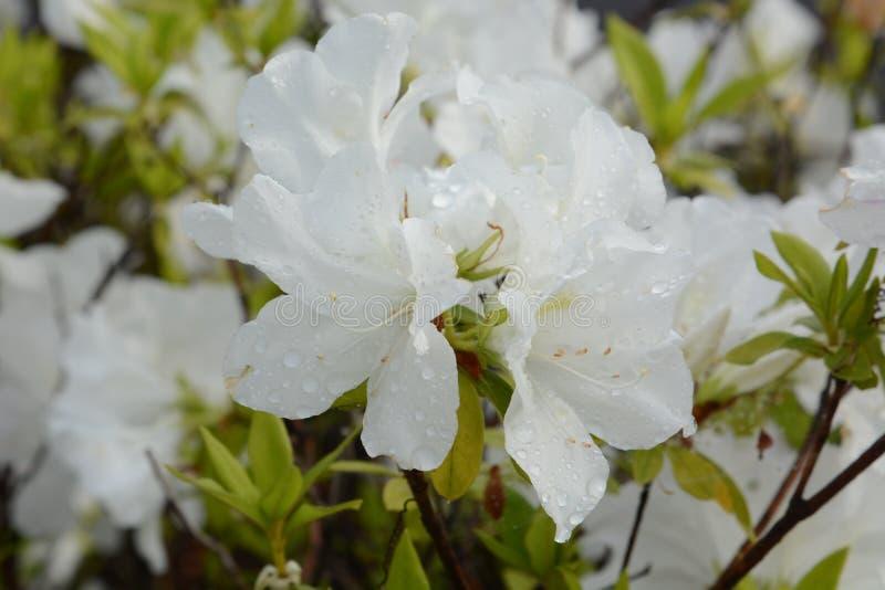 Azalea flowers. In full bloom stock photo