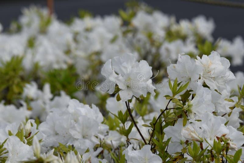 Azalea flowers. In full bloom stock photography