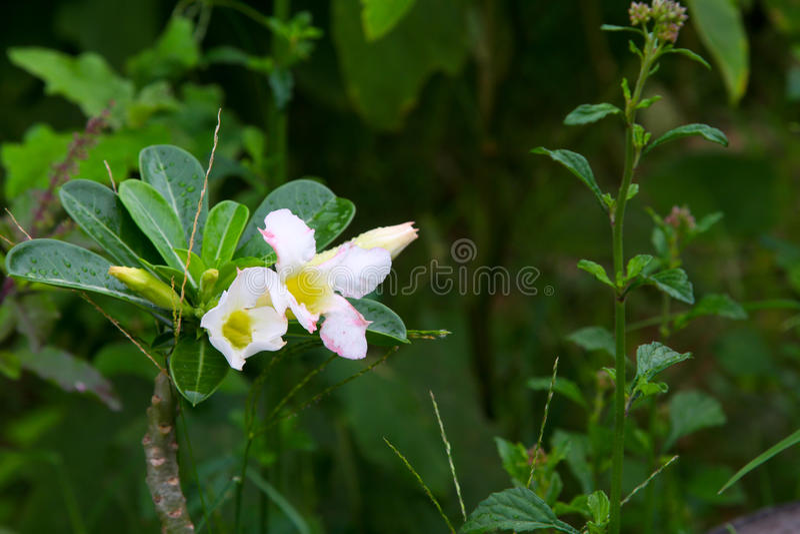 Azalea Flowers blanca fotos de archivo