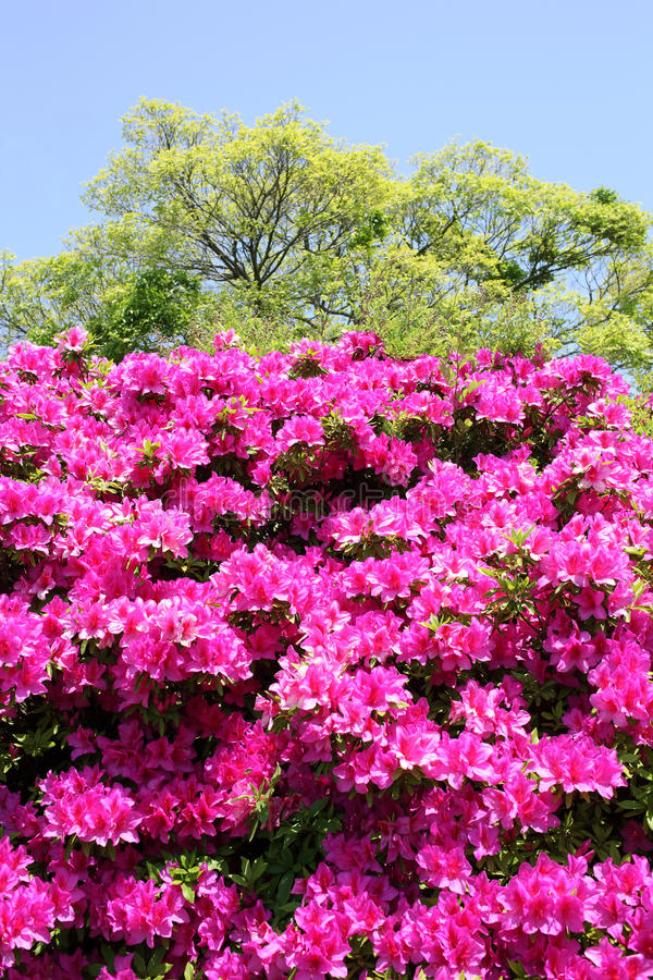Azalea flowers royalty free stock photos