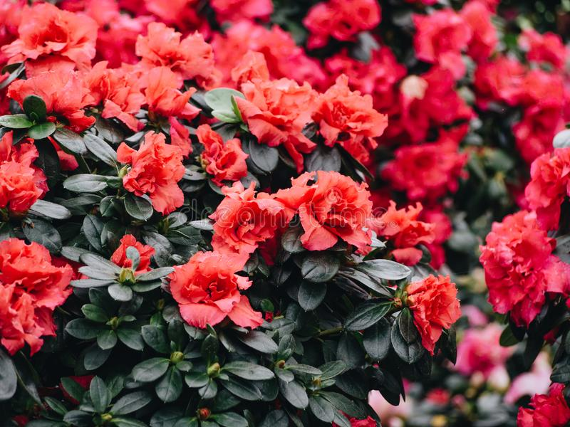 Azalea flowers. Blooming red rhododendron in the garden royalty free stock images