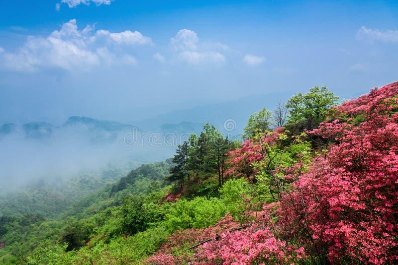 Azalea flowers. Brilliant color of azalea flowers in front of mountain under sky royalty free stock photography