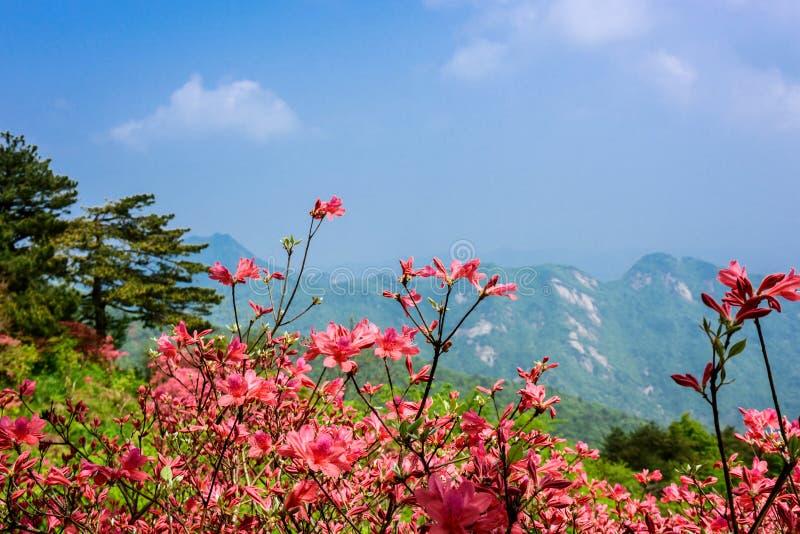 Azalea flowers. Brilliant color of azalea flowers in front of mountain under sky stock photography