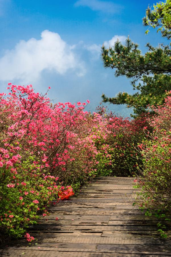 Azalea flowers. Brilliant color of azalea flowers under sky.Photographed at the Guifeng Mountain Scenic Spot in Macheng, Hubei Province, China stock image