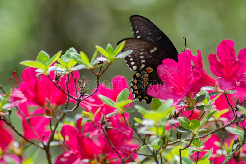 Azalea Flowers and Butterfly. A close-up of a Pink Azalea flowers and a Red Spotted Purple Butterfly feeding on the nectar located in a mountain park royalty free stock images
