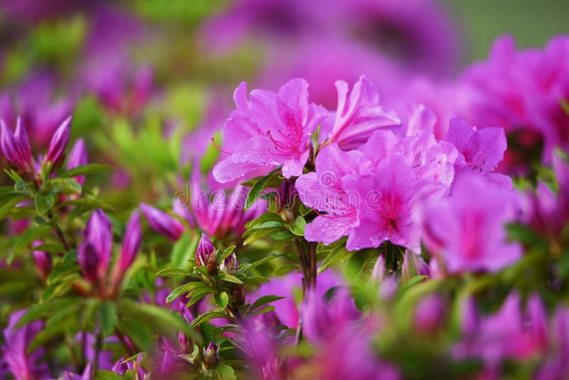 Azalea flowers. In full bloom royalty free stock images