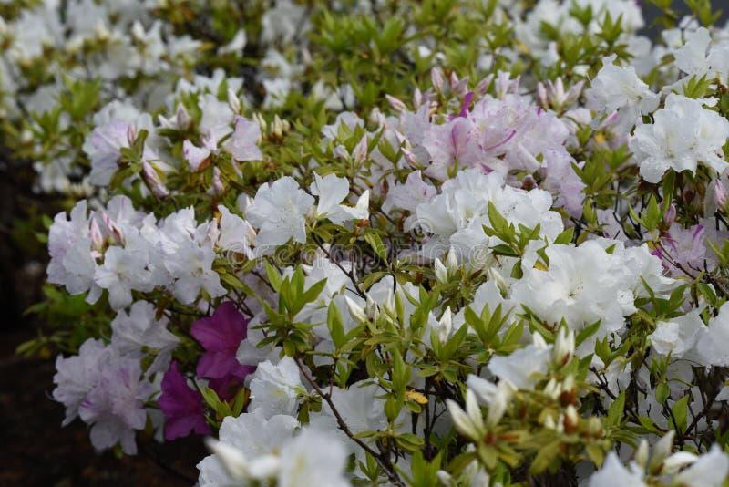 Azalea flowers. In full bloom stock image