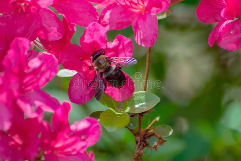 Azalea Flowers and a Honeybee. A close-up of a Pink Azalea flowers and a honeybee feeding on the nectar located in a mountain park, Appalachian Mountains of stock photo