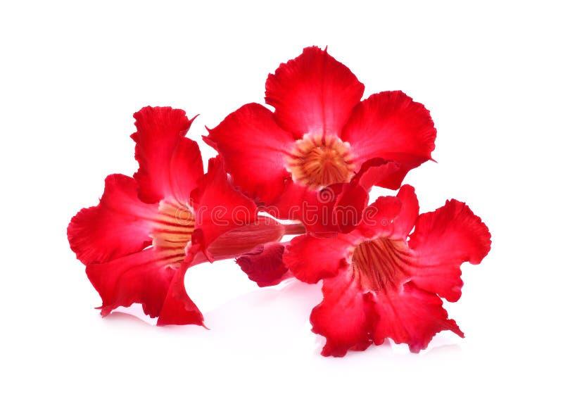 Azalea flowers isolated on white background royalty free stock photos