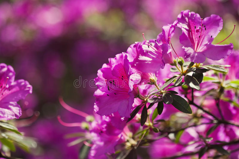Azalea flowers. Pink azalea flowers in the garden stock photos