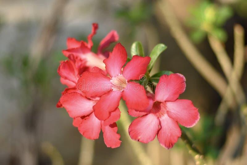 Azalea flowers. Red azalea flowers in summer season stock image