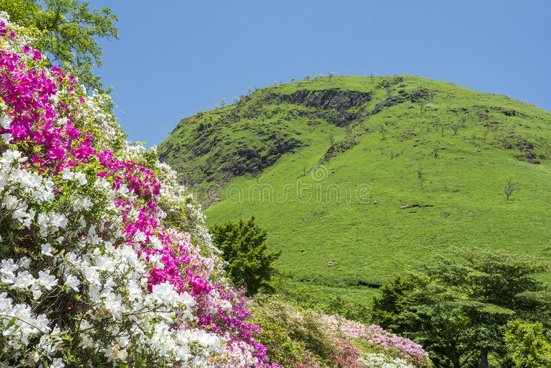 Azalea flowers on slopes stock photo