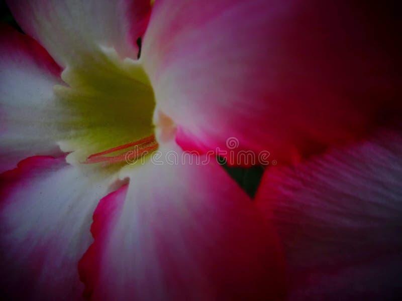 Azalea flowers. Taken at closa-up stock photo